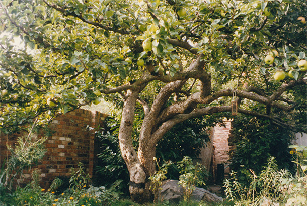 The £50m apple – the original Bramley tree still thrives