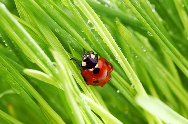 A lady bug in the grass