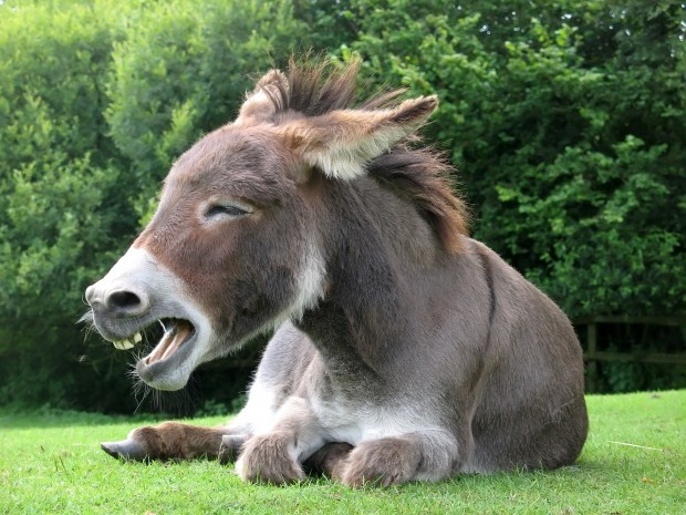Image of a Donkey