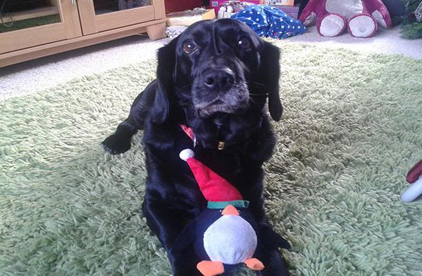 My Lewi was a Labrador and a Cocker Spaniel.