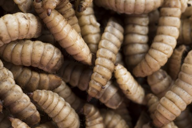 Maggots used by Agriprotein
