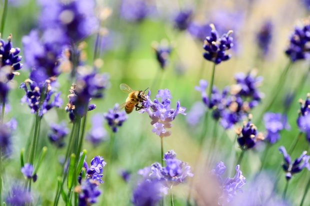 A bee on lavender.