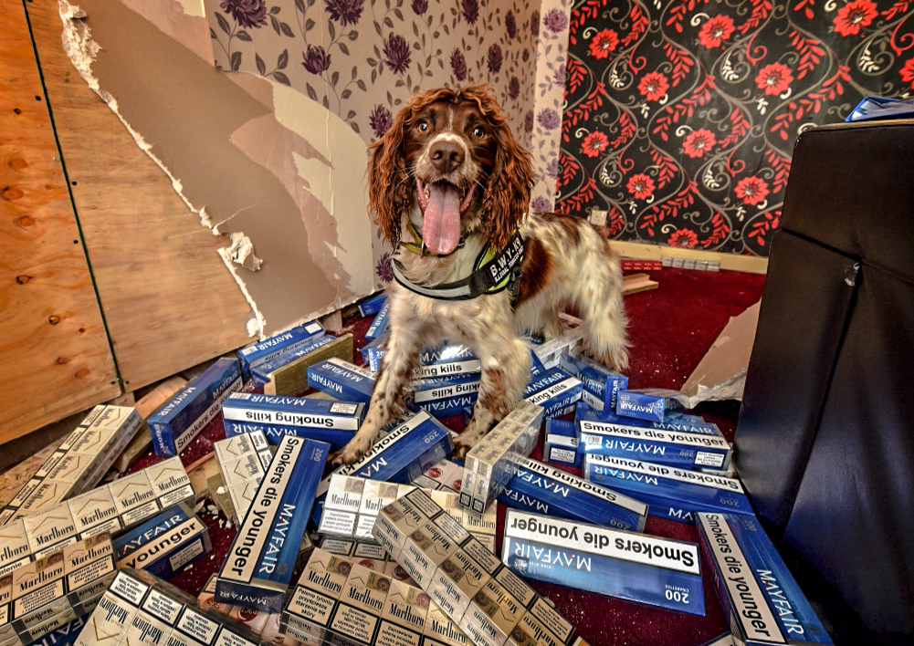 Scamp the sniffer dog surrounded by counterfeit tobacco packets.