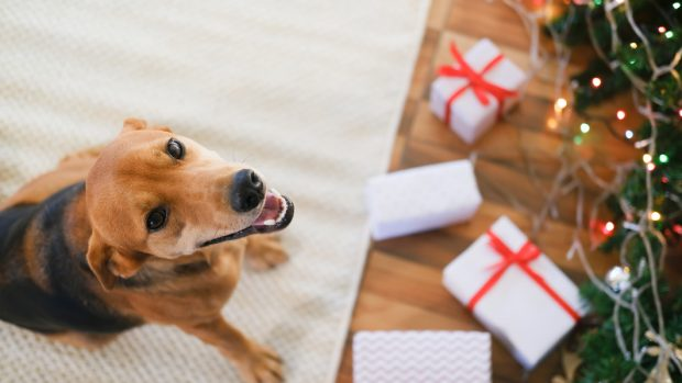 Dog sat on a rug surrounded by Christmas presents and Christmas tree
